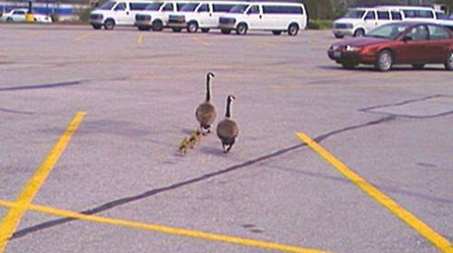 2 geese crossing a parking lot