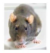 grey rat closeup picture
